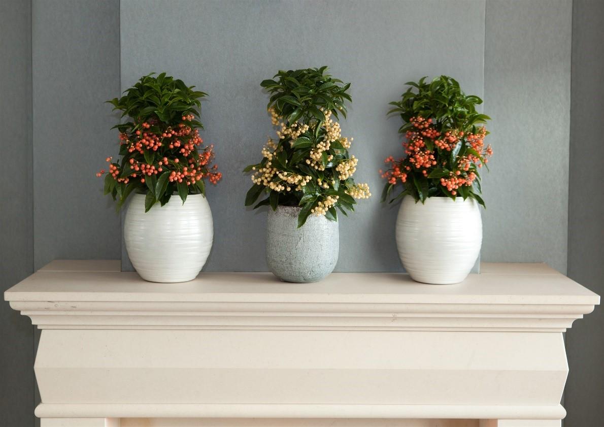 3 loại cây cảnh phong thủy rất thích hợp để bạn trồng trong phòng khách - Ảnh 2.
