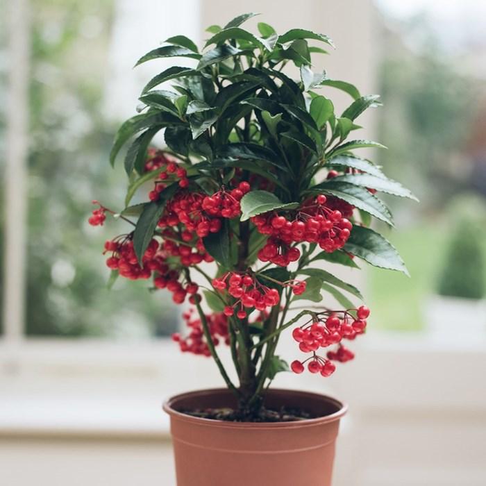 3 loại cây cảnh phong thủy rất thích hợp để bạn trồng trong phòng khách - Ảnh 1.