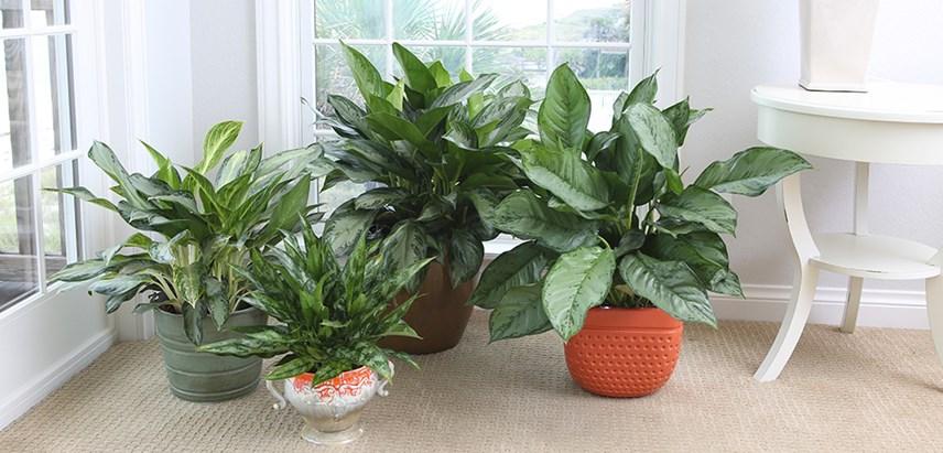 3 loại cây cảnh phong thủy rất thích hợp để bạn trồng trong phòng khách - Ảnh 4.