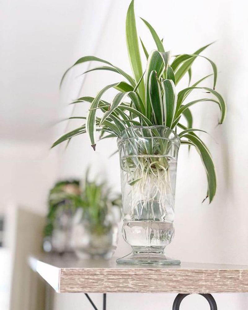 7 loại cây cảnh nên trồng trong nhà bếp vì lọc không khí và khử mùi cực tốt - Ảnh 5.
