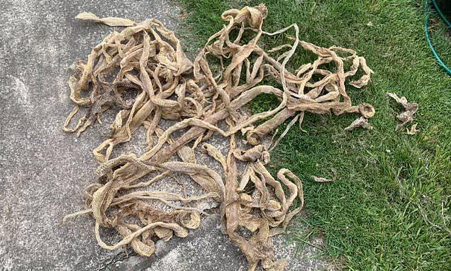 """Kiểm tra tầng gác mái, người đàn ông thất kinh bạt vía thấy 50 tấm da rắn khô reng, diễn biến sau đó mới thực sự gây ám ảnh """"rợn tóc gáy"""" - Ảnh 4."""