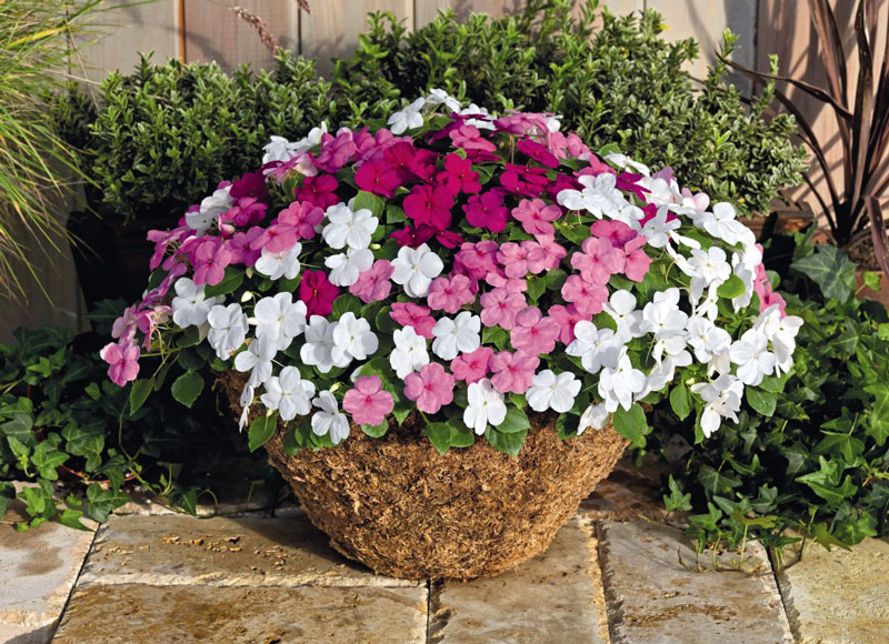 Mùa hè thì nên trồng hoa gì cho hợp lý? - Ảnh 3.