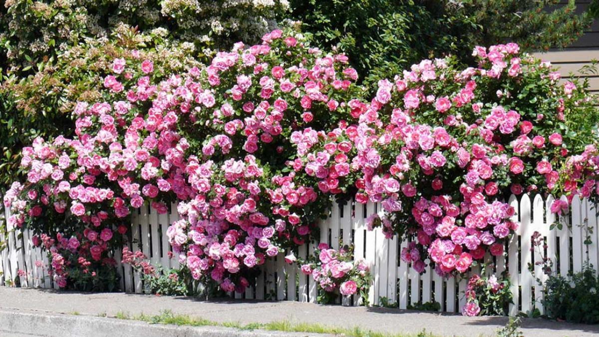 Mùa hè thì nên trồng hoa gì cho hợp lý? - Ảnh 4.