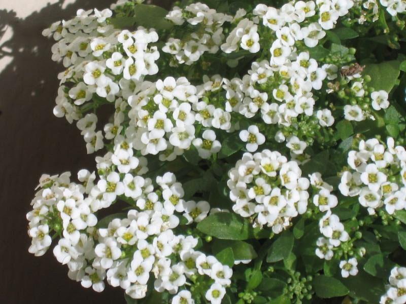 Mùa hè thì nên trồng hoa gì cho hợp lý? - Ảnh 6.