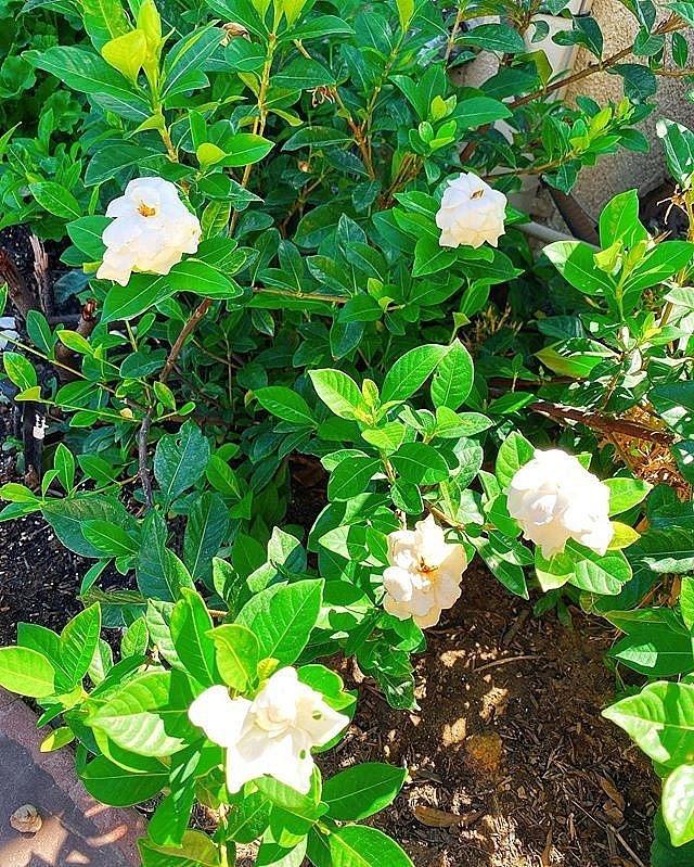 Ngắm khu vườn sai trĩu cây ăn trái và hoa rực rỡ trong biệt thự triệu đô ở Mỹ của Phạm Hương - Ảnh 12.