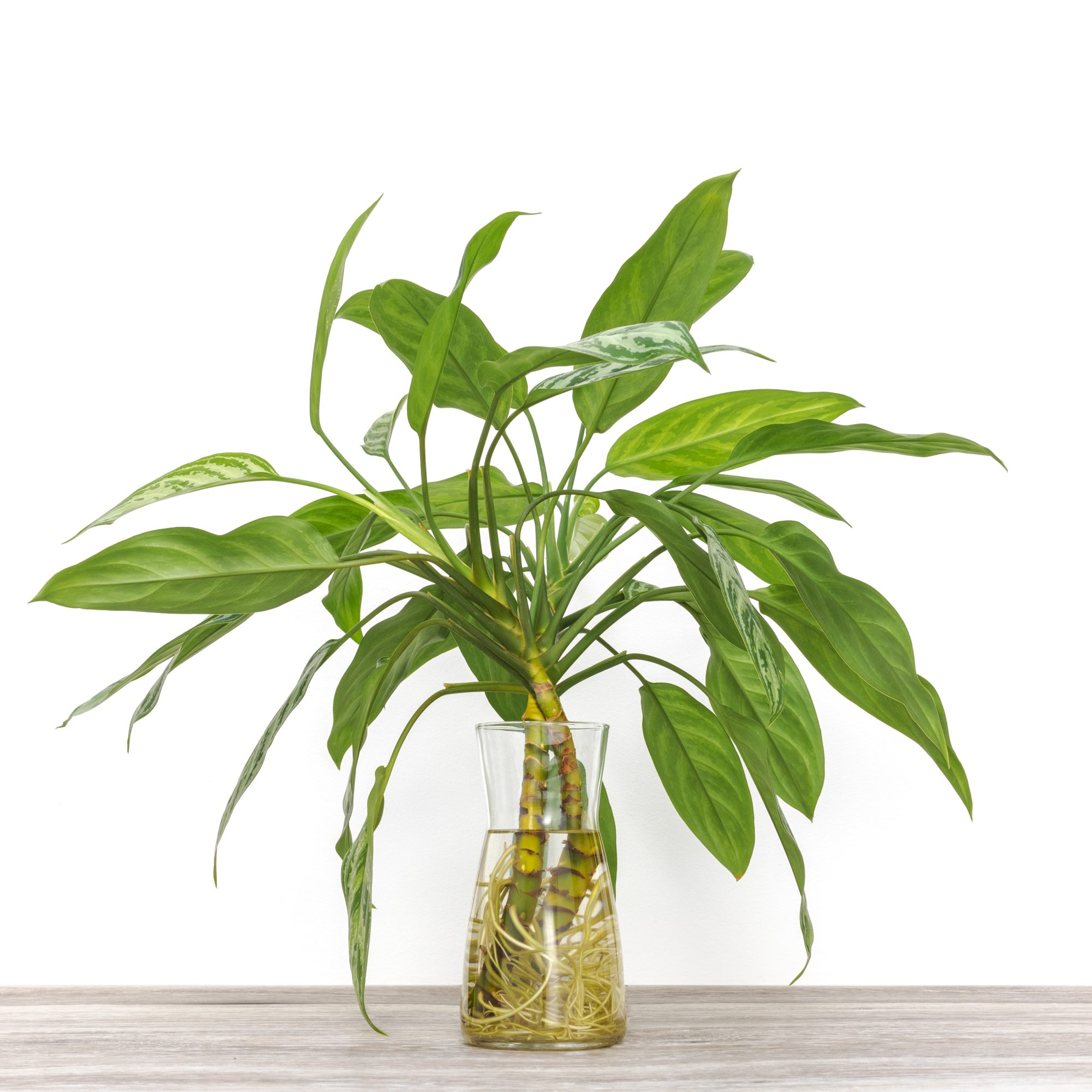 Tập hợp những loại cây trồng trong nhà được NASA gợi ý để cải thiện sức khỏe - Ảnh 4.