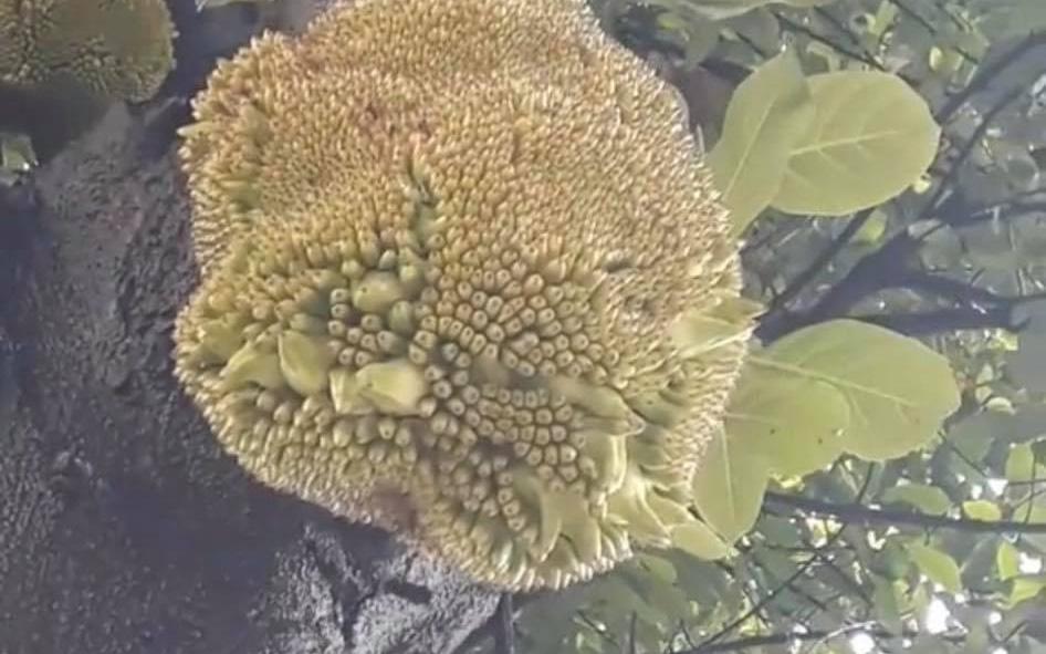 Mãn nhãn với cây mít nhà trồng đầy trái nhưng lại ngỡ ngàng khi thấy múi mít không nằm bên trong quả mà di chuyển đến vị trí quái lạ!?