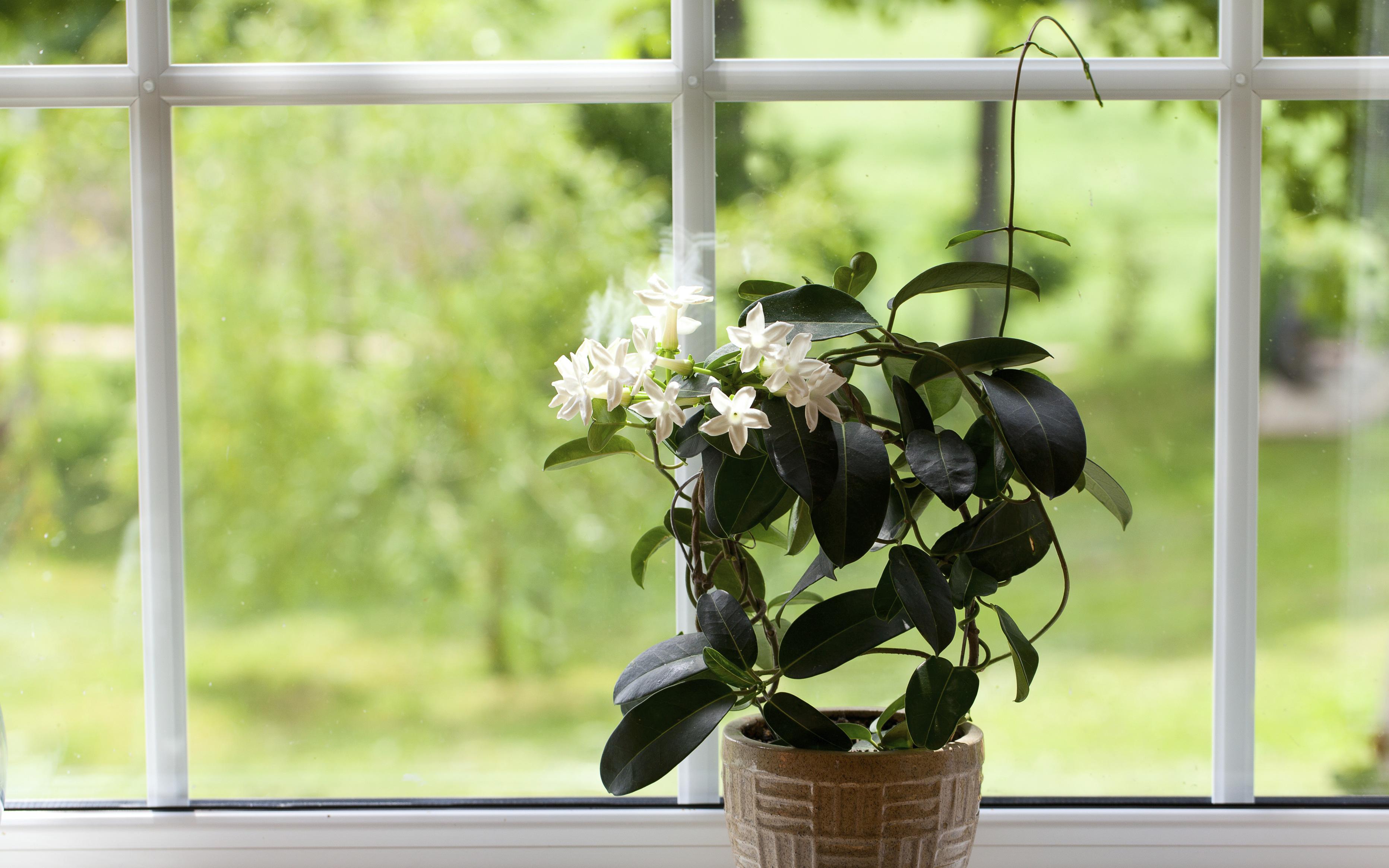 Bí quyết trồng hoa nhài trong chậu để cây xanh tốt quanh năm