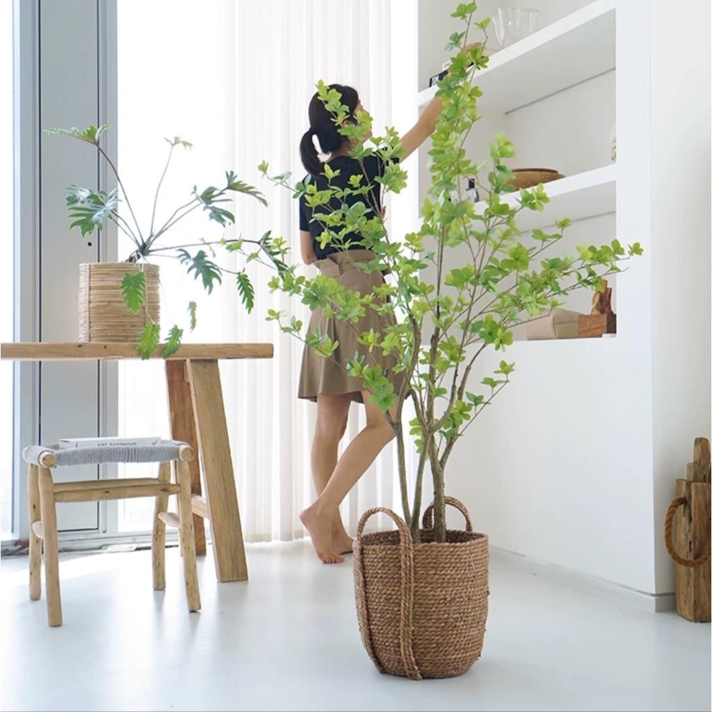 Dạo gần đây thị trường rộ mua cây thạch nam: Là loại cây gì, giá đắt không mà chị em yêu thích thế? - Ảnh 5.