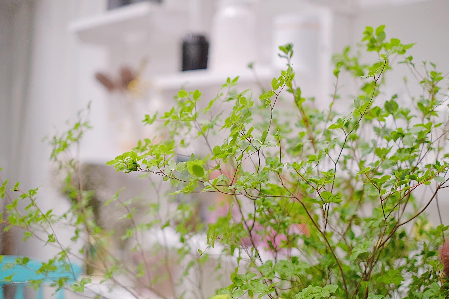 Dạo gần đây thị trường rộ mua cây thạch nam: Là loại cây gì, giá đắt không mà chị em yêu thích thế? - Ảnh 3.