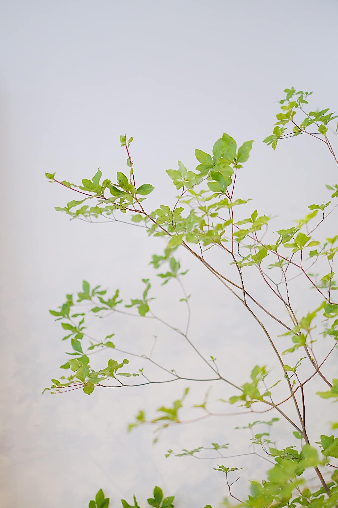 Dạo gần đây thị trường rộ mua cây thạch nam: Là loại cây gì, giá đắt không mà chị em yêu thích thế? - Ảnh 4.