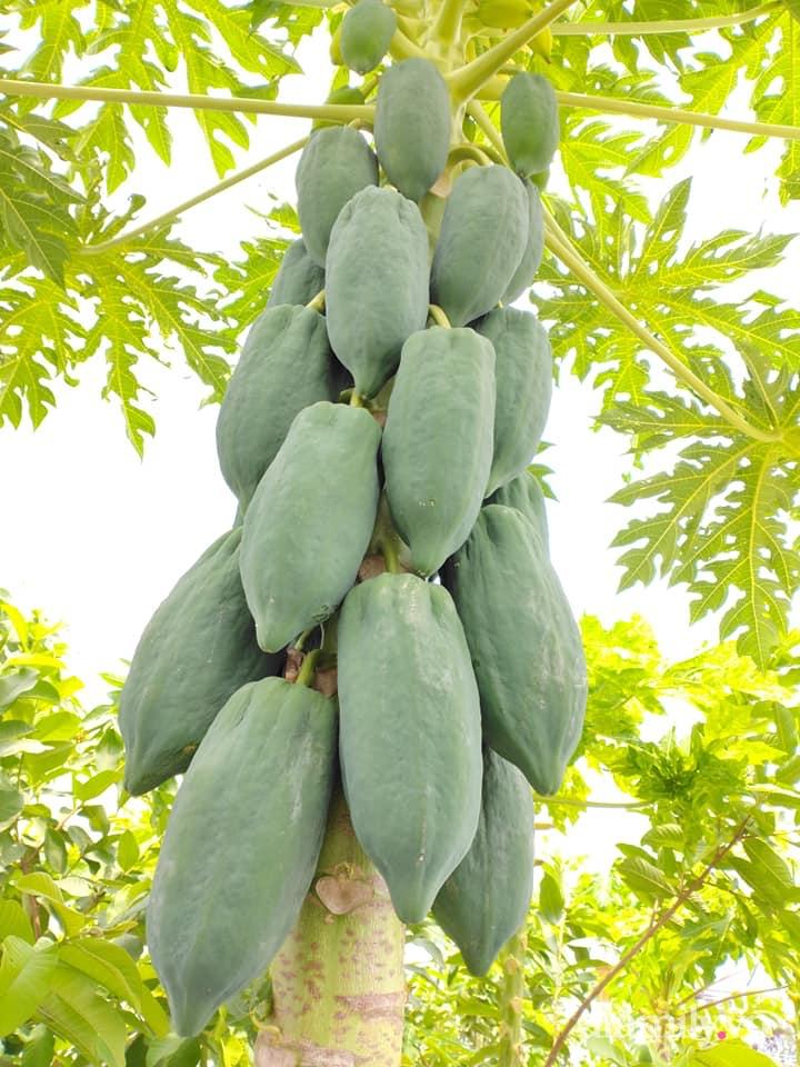 Vườn cây ăn quả 130m2 trên sân thượng quanh năm xanh mát ở quận 9, Sài Gòn - Ảnh 16.