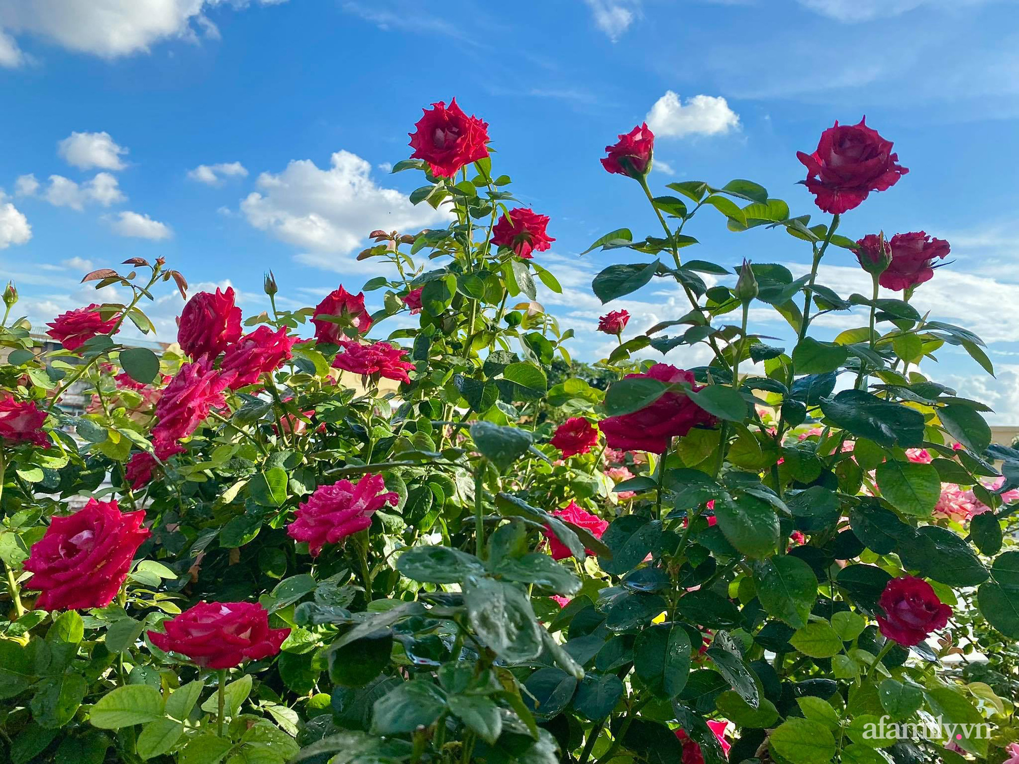 Sân thượng phủ kín hoa hồng và rau quả sạch được chăm chút nhờ bàn tay khéo léo của Hoa hậu Janny Thủy Trần - Ảnh 12.