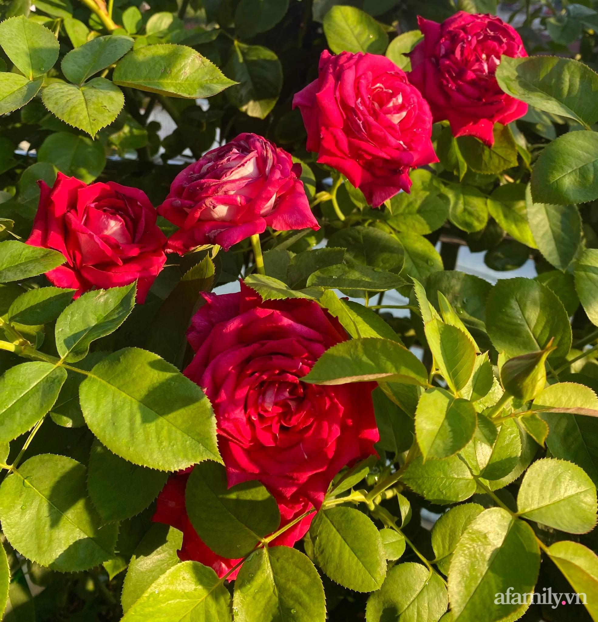 Sân thượng phủ kín hoa hồng và rau quả sạch được chăm chút nhờ bàn tay khéo léo của Hoa hậu Janny Thủy Trần - Ảnh 11.