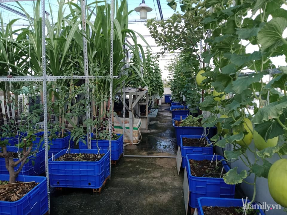 Vườn sân thượng xum xuê cây trái của ông bố đảm Sài Gòn giúp gia đình an toàn ở nhà chống dịch - Ảnh 1.