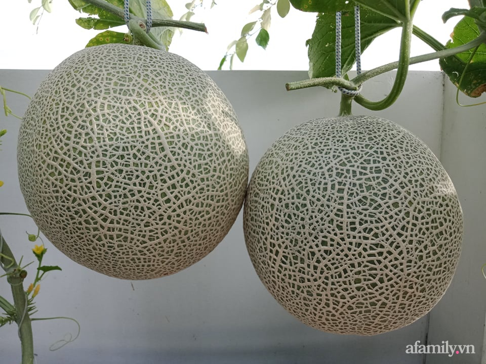 Vườn sân thượng xum xuê cây trái của ông bố đảm Sài Gòn giúp gia đình an toàn ở nhà chống dịch - Ảnh 15.
