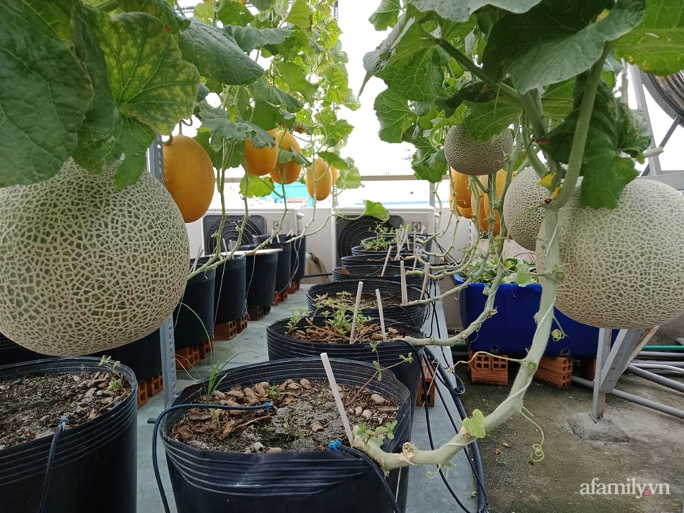 Vườn sân thượng xum xuê cây trái của ông bố đảm Sài Gòn giúp gia đình an toàn ở nhà chống dịch - Ảnh 3.