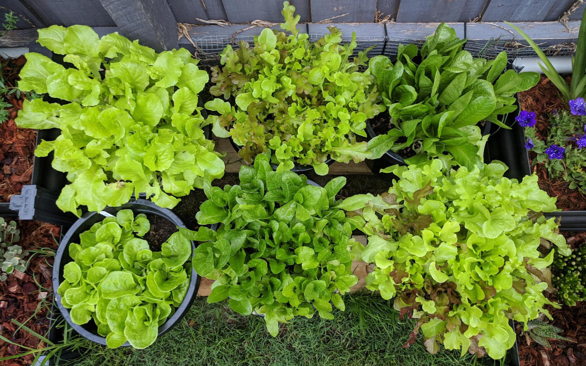 Khoảng sân nhỏ biến thành khu vườn đủ loại rau sạch tốt tươi nhờ tình yêu trồng trọt của mẹ trẻ