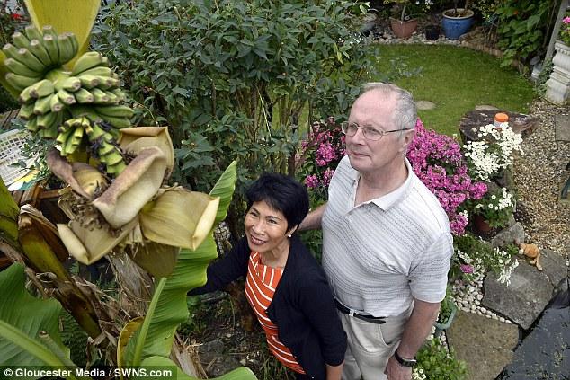 """Mua cây chuối về trồng, cặp vợ chồng mừng """"rớt nước mắt"""" vì cuối cùng nó cũng đơm hoa kết trái sau 20 năm đợi mòn mỏi, nhìn dáng buồng chuối """"cạn lời"""" - Ảnh 1."""