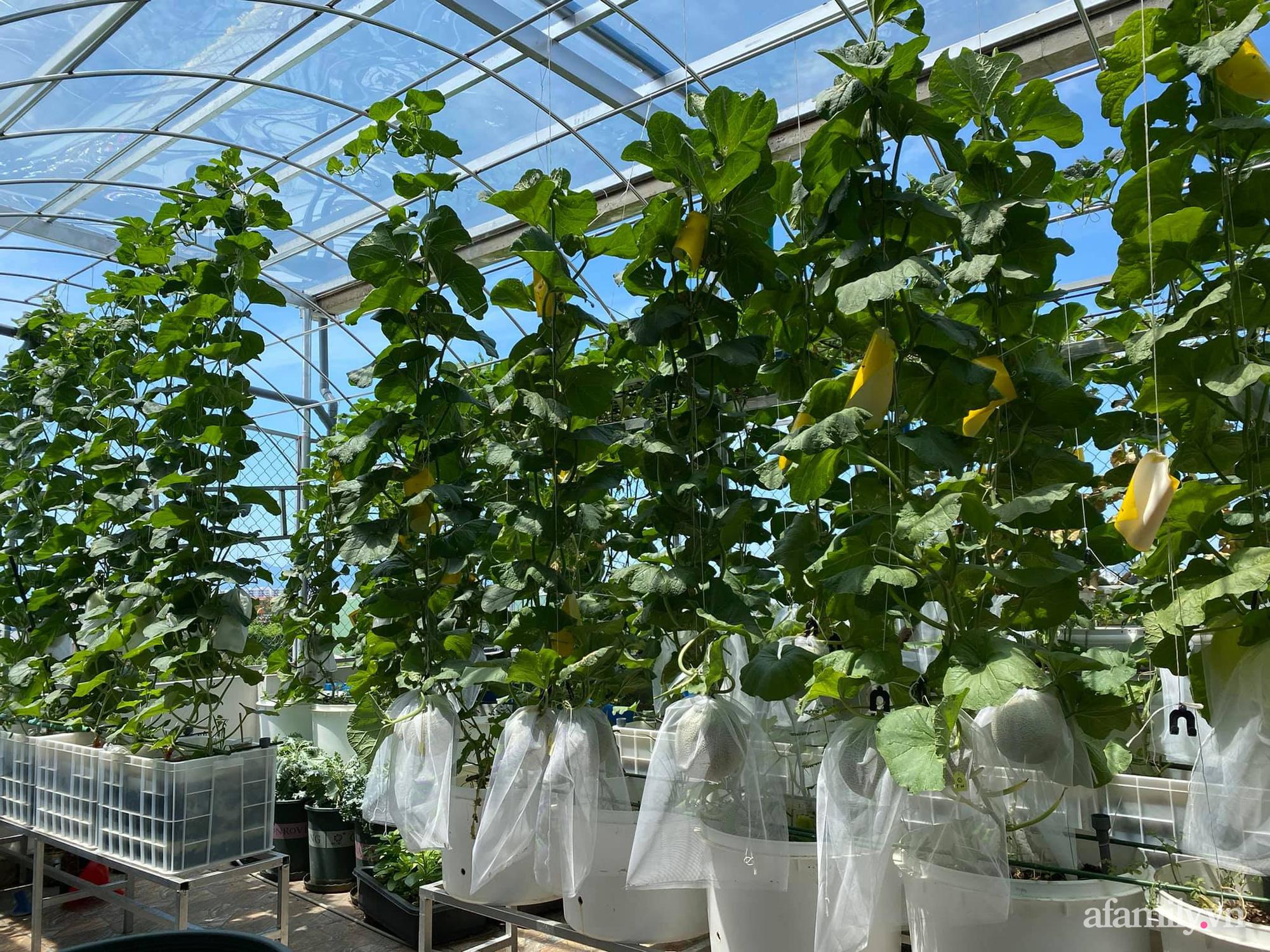 Giãn cách không ra khỏi nhà vẫn đủ rau quả thưởng thức nhờ vườn cây xanh um trên sân thượng ở Đà Nẵng - Ảnh 5.