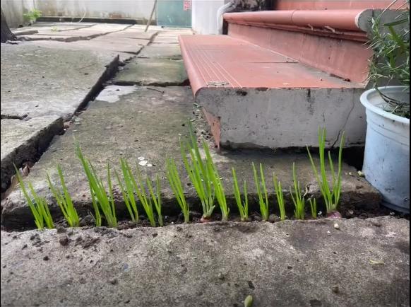 """""""Cao thủ không bằng tranh thủ"""", tiktoker Bình Phước tận dụng một chút đất tưởng bỏ đi để có hành tươi ăn sau 7 ngày trồng trọt - Ảnh 3."""
