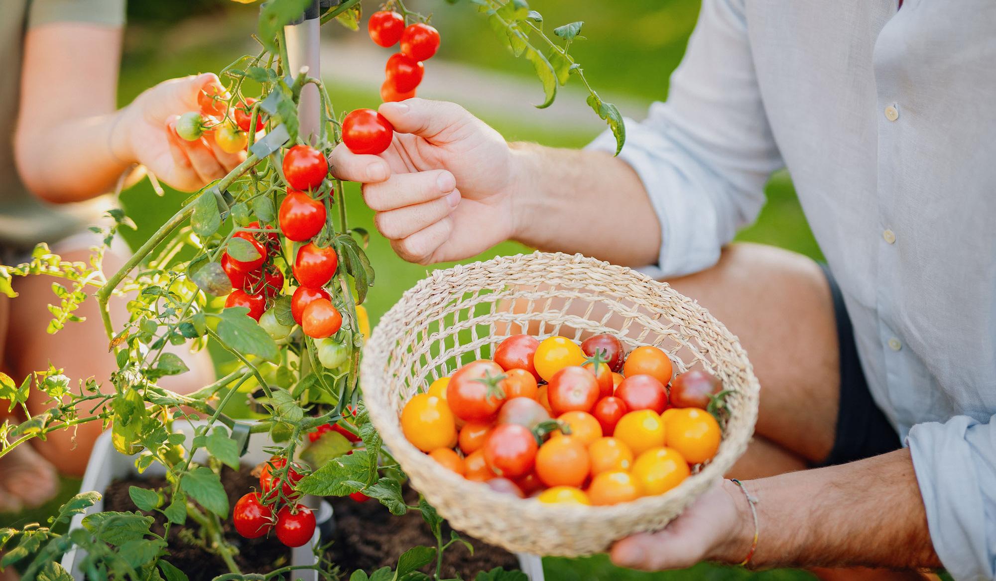 Những sai lầm phổ biến khi trồng cà chua khiến năng suất không được như mong muốn - Ảnh 1.