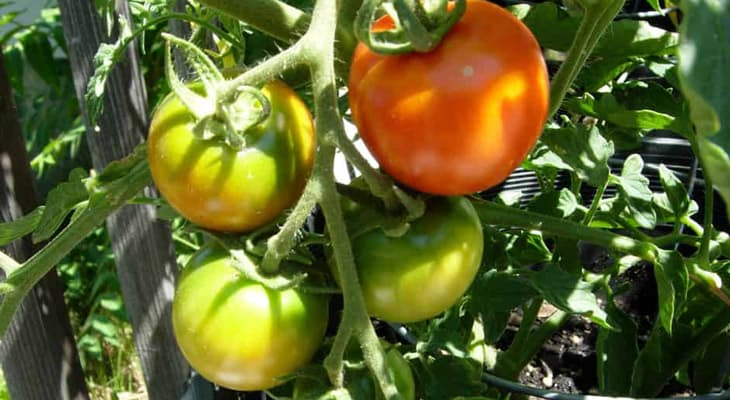 Những sai lầm phổ biến khi trồng cà chua khiến năng suất không được như mong muốn - Ảnh 6.