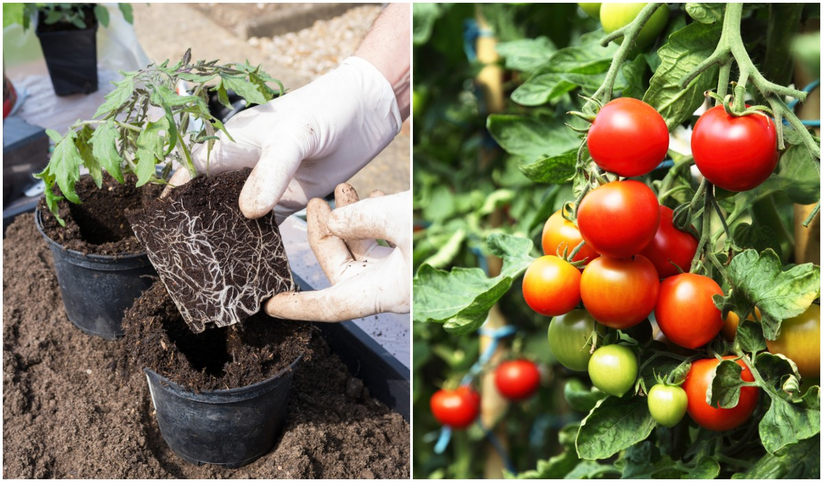 Những sai lầm phổ biến khi trồng cà chua khiến năng suất không được như mong muốn - Ảnh 2.