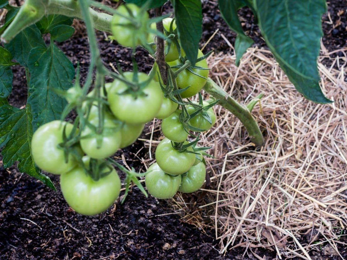 Những sai lầm phổ biến khi trồng cà chua khiến năng suất không được như mong muốn - Ảnh 5.