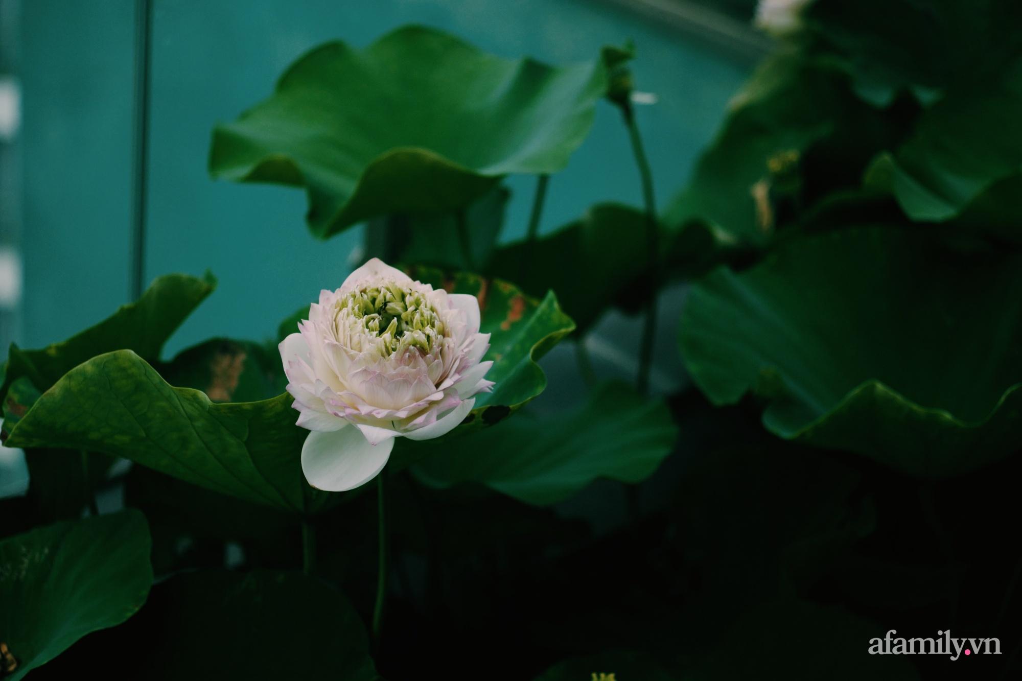 """""""Hồ sen"""" với đủ loại hoa hiếm trên penthouse 300m² của travel blogger dành tặng vợ ở Hà Nội - Ảnh 17."""