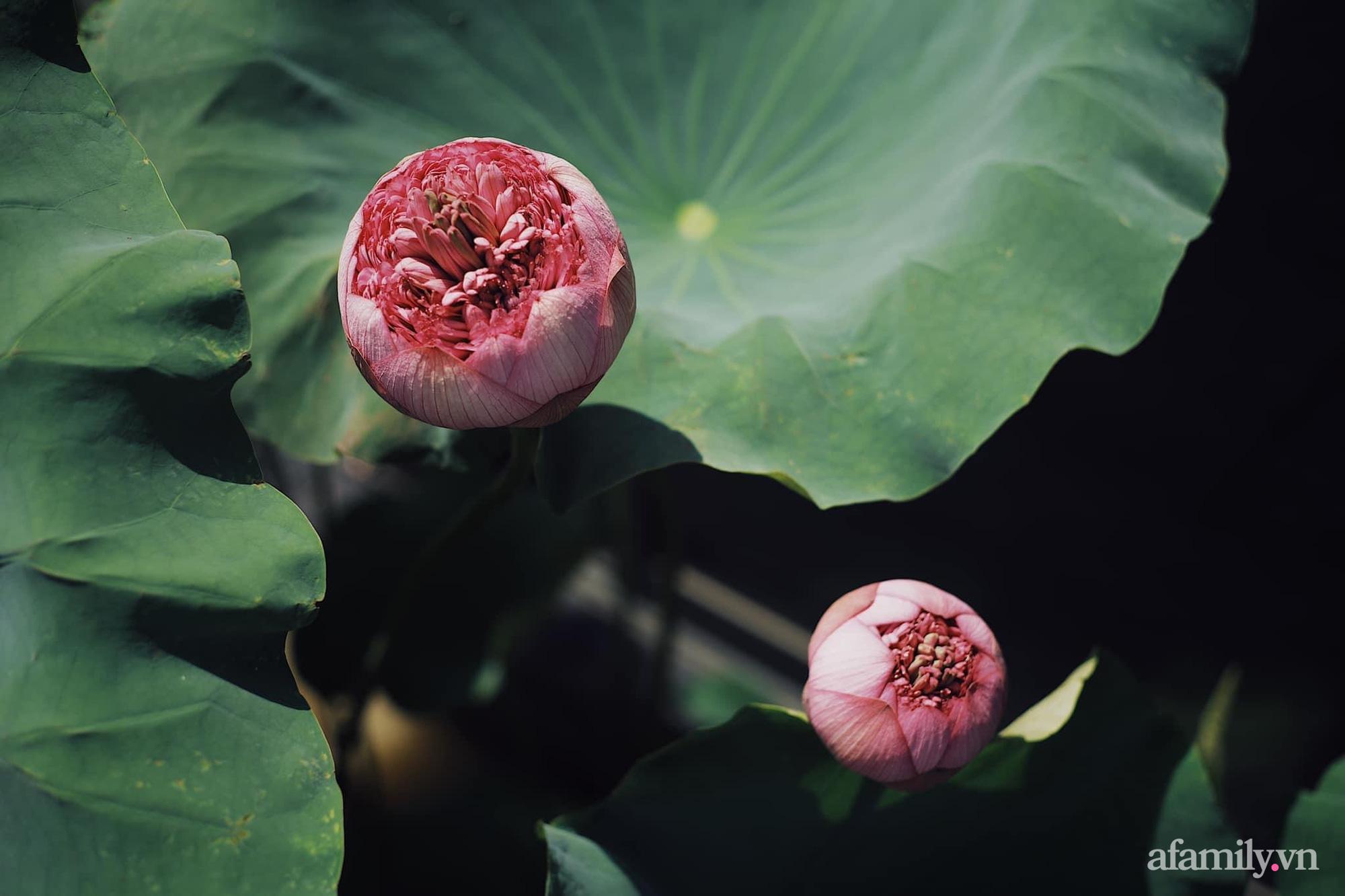 """""""Hồ sen"""" với đủ loại hoa hiếm trên penthouse 300m² của travel blogger dành tặng vợ ở Hà Nội - Ảnh 3."""