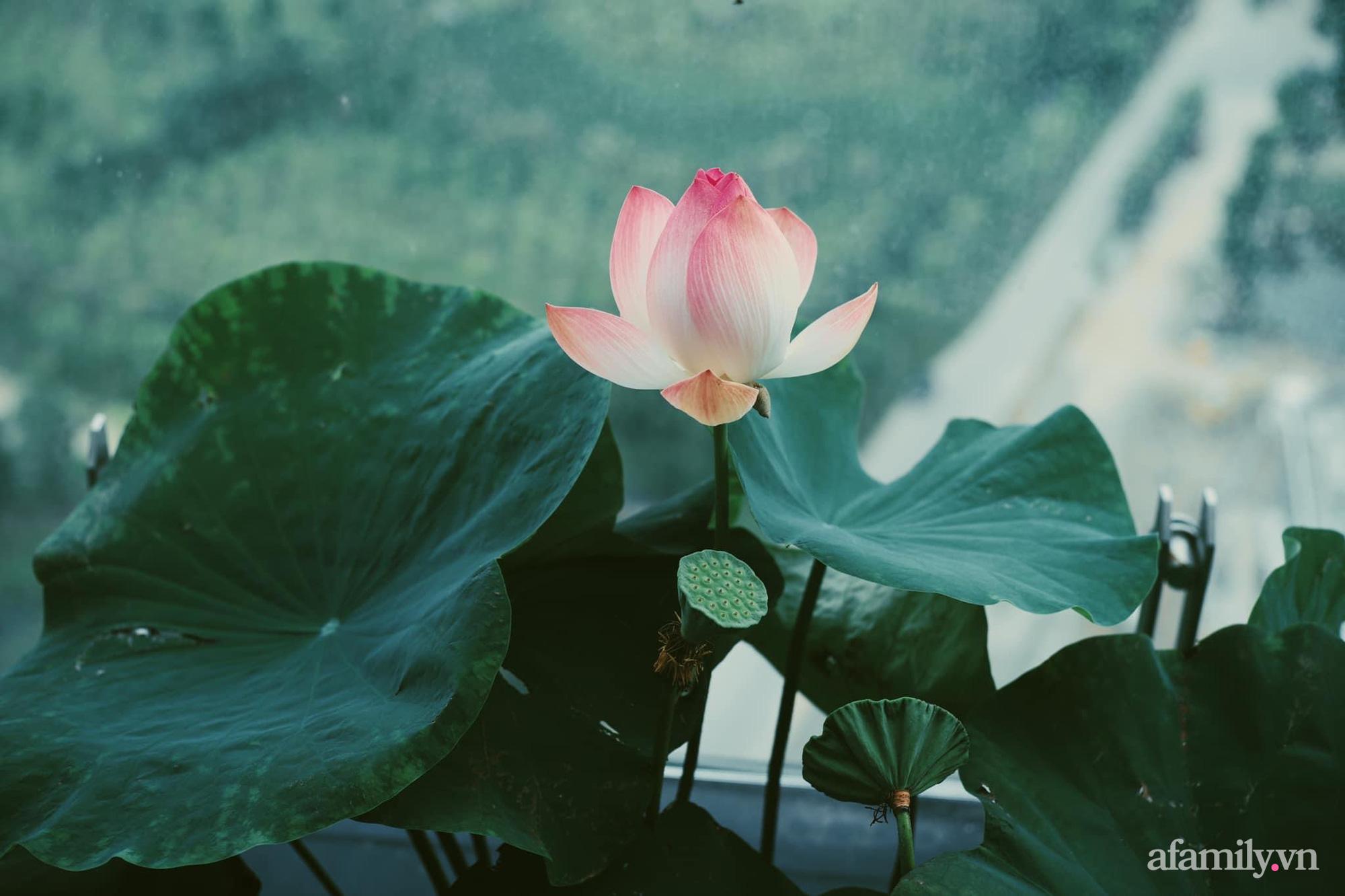 """""""Hồ sen"""" với đủ loại hoa hiếm trên penthouse 300m² của travel blogger dành tặng vợ ở Hà Nội - Ảnh 13."""