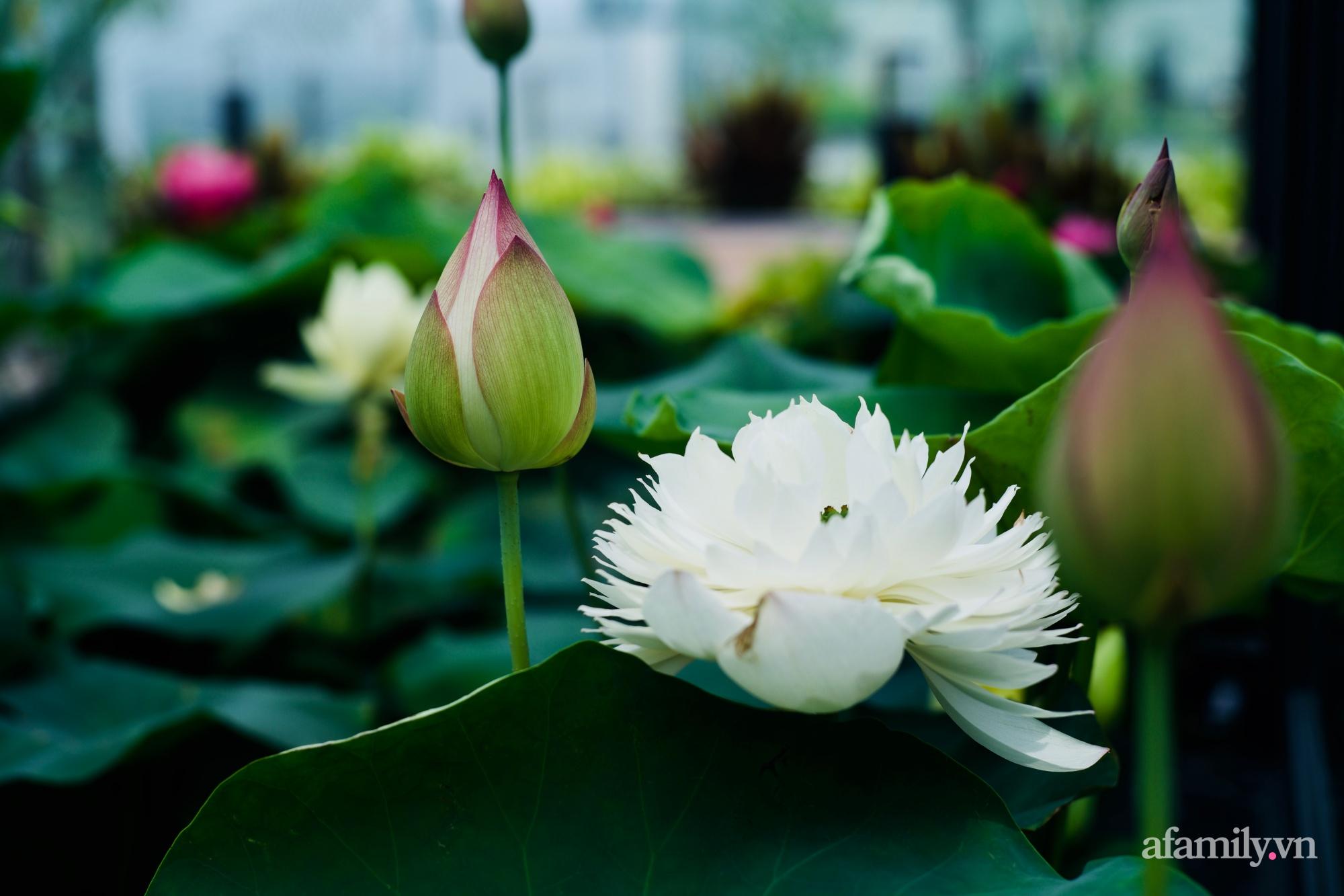 """""""Hồ sen"""" với đủ loại hoa hiếm trên penthouse 300m² của travel blogger dành tặng vợ ở Hà Nội - Ảnh 4."""