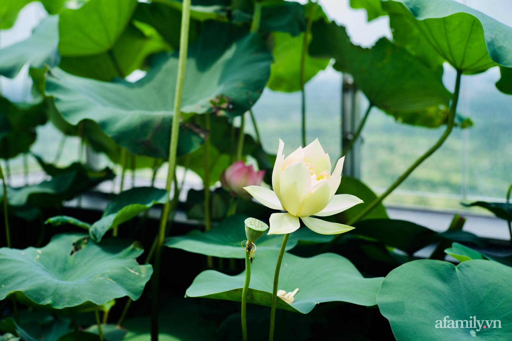 """""""Hồ sen"""" với đủ loại hoa hiếm trên penthouse 300m² của travel blogger dành tặng vợ ở Hà Nội - Ảnh 2."""