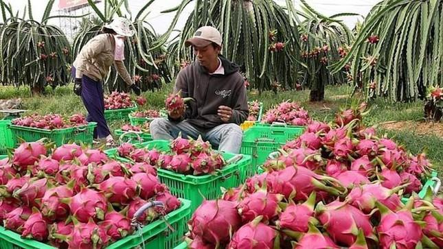 Trung Quốc nhập khẩu trở lại thanh long và chuối của Việt Nam - Ảnh 1.