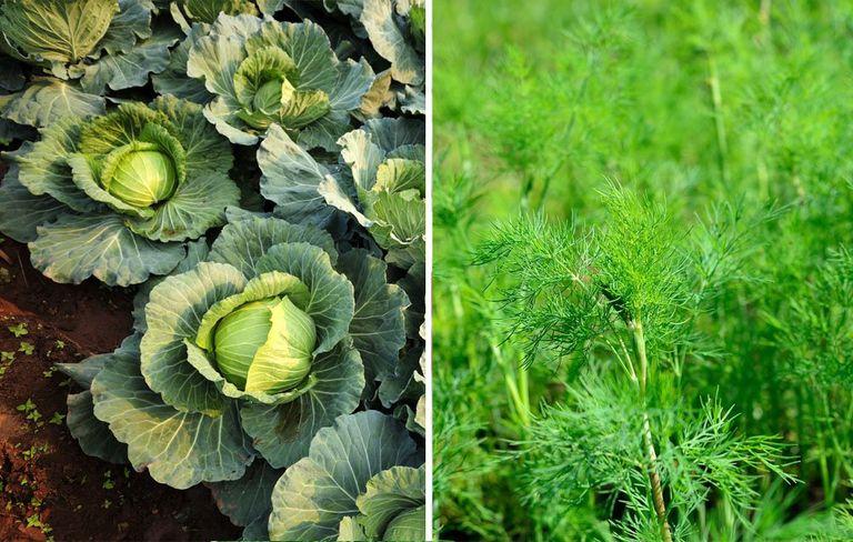 """Trồng 10 """"cặp đôi"""" này cạnh nhau, khu vườn của bạn sẽ đỡ sâu bệnh, xanh tốt khỏe mạnh  - Ảnh 5."""