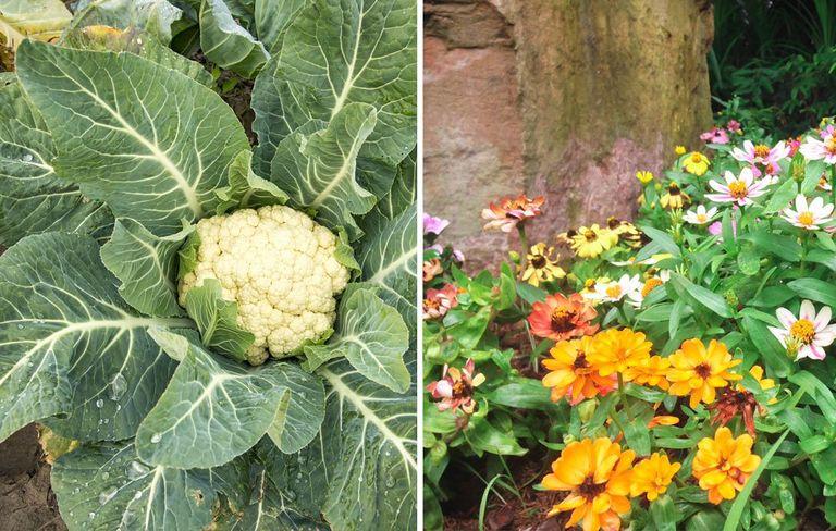 """Trồng 10 """"cặp đôi"""" này cạnh nhau, khu vườn của bạn sẽ đỡ sâu bệnh, xanh tốt khỏe mạnh  - Ảnh 8."""