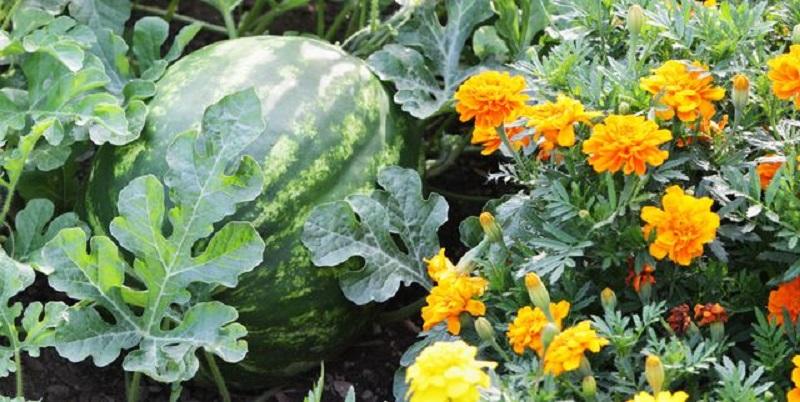 """Trồng 9 """"cặp đôi"""" này cạnh nhau, khu vườn của bạn sẽ đỡ sâu bệnh, xanh tốt khỏe mạnh  - Ảnh 1."""