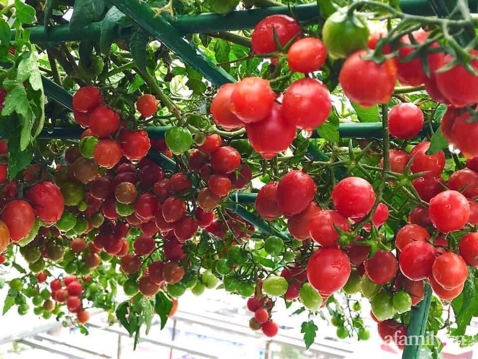 """Mẹ đảm Hà Nội chia sẻ bí quyết """"vàng"""" trồng cây cà chua bạch tuộc trên sân thượng, quanh năm năng suất trái sai trĩu cành - Ảnh 7."""