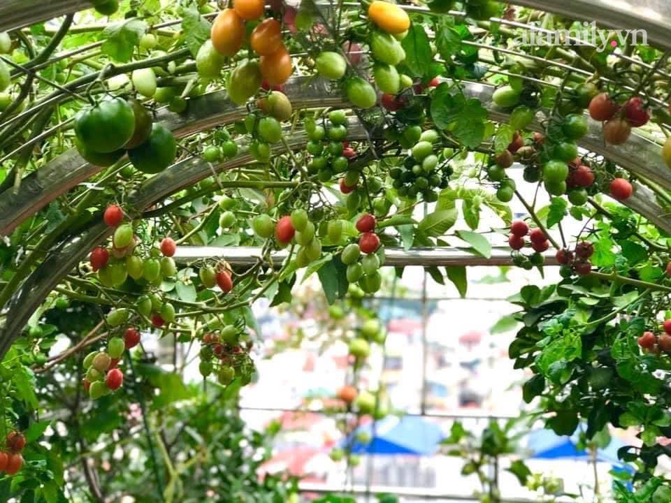 """Mẹ đảm Hà Nội chia sẻ bí quyết """"vàng"""" trồng cây cà chua bạch tuộc trên sân thượng, quanh năm năng suất trái sai trĩu cành - Ảnh 5."""