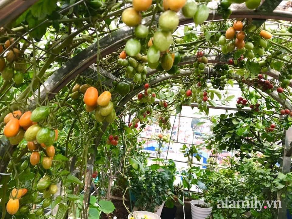 """Mẹ đảm Hà Nội chia sẻ bí quyết """"vàng"""" trồng cây cà chua bạch tuộc trên sân thượng, quanh năm năng suất trái sai trĩu cành - Ảnh 9."""