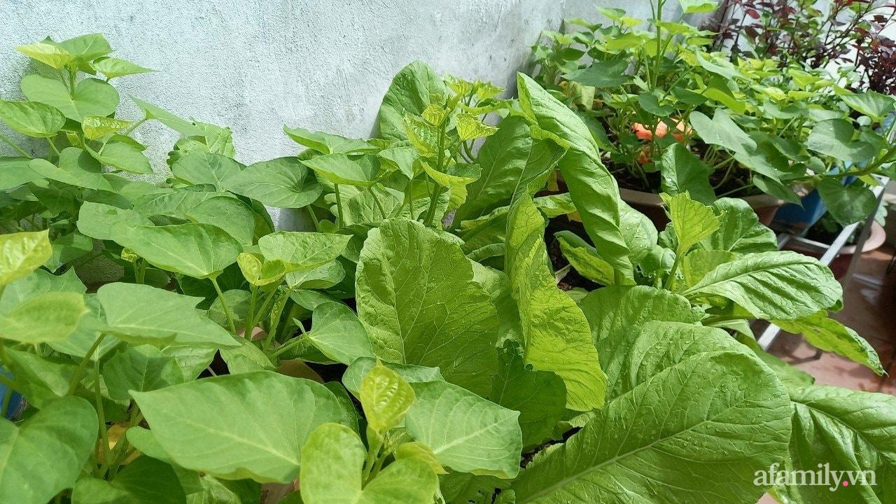 Sân thượng 15m2 đủ các loại rau xanh tốt tươi không lo thiếu thực phẩm mùa dịch ở Hà Nội - Ảnh 12.