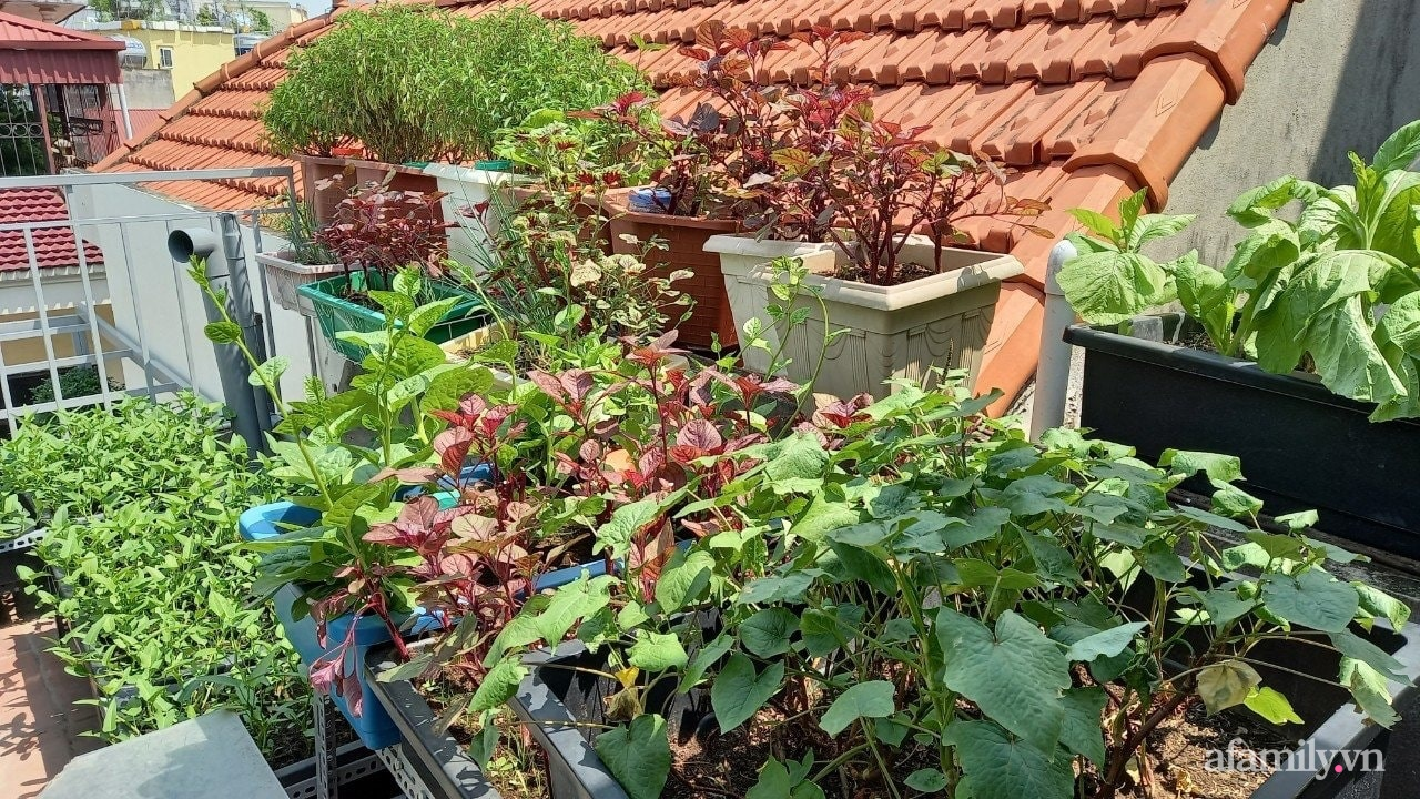 Sân thượng 15m2 đủ các loại rau xanh tốt tươi không lo thiếu thực phẩm mùa dịch ở Hà Nội - Ảnh 6.