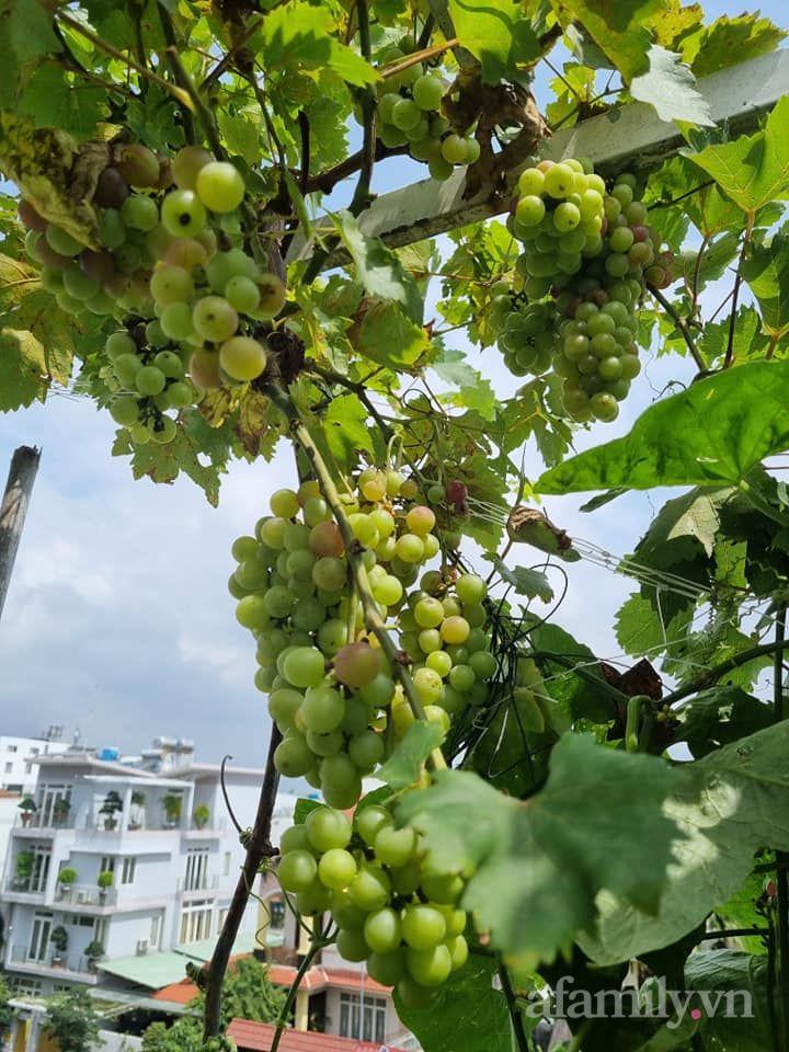 Nho đỏ Ninh Thuận leo giàn sai trĩu trịt trên sân thượng 80m² của mẹ đảm Sài Gòn - Ảnh 10.