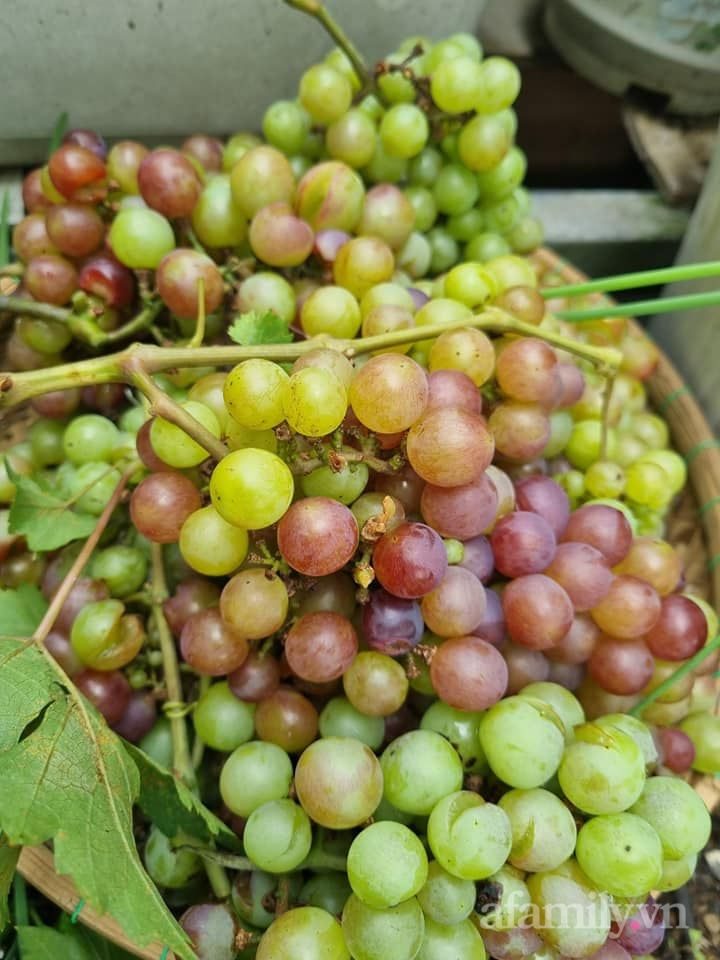 Mẹ đảm Sài Gòn trồng nho đỏ Ninh Thuận sai trĩu cành trên sân thượng 80m² - Ảnh 4.