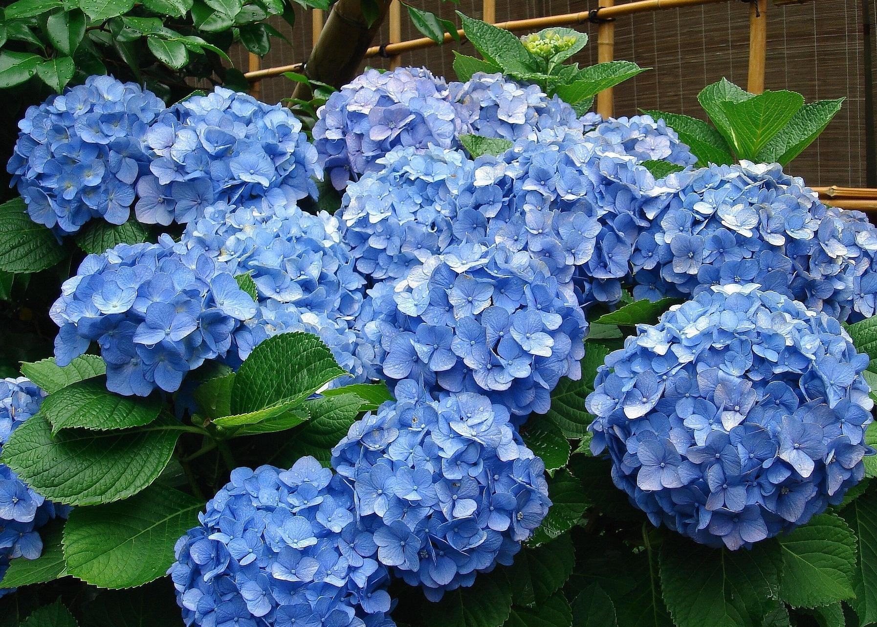 Những sai lầm dễ gặp phải khi trồng hoa cẩm tú cầu - Ảnh 3.