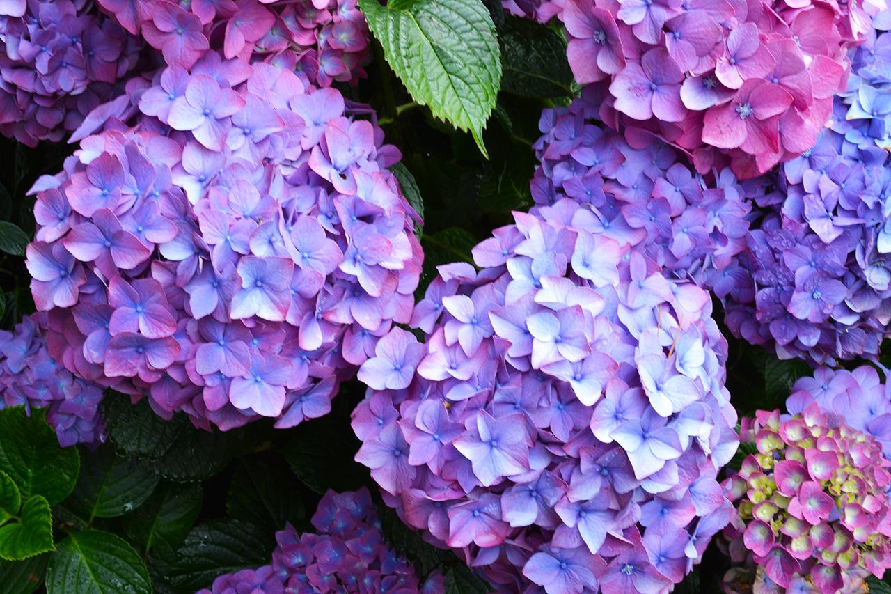 Những sai lầm dễ gặp phải khi trồng hoa cẩm tú cầu - Ảnh 4.