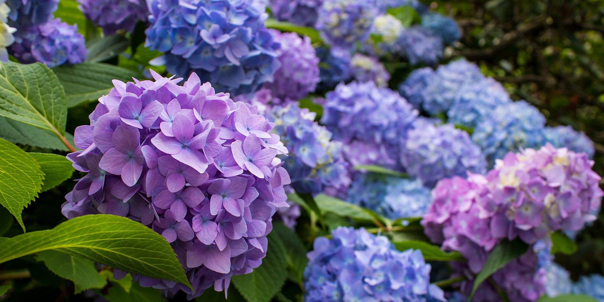 Những sai lầm dễ gặp phải khi trồng hoa cẩm tú cầu - Ảnh 2.