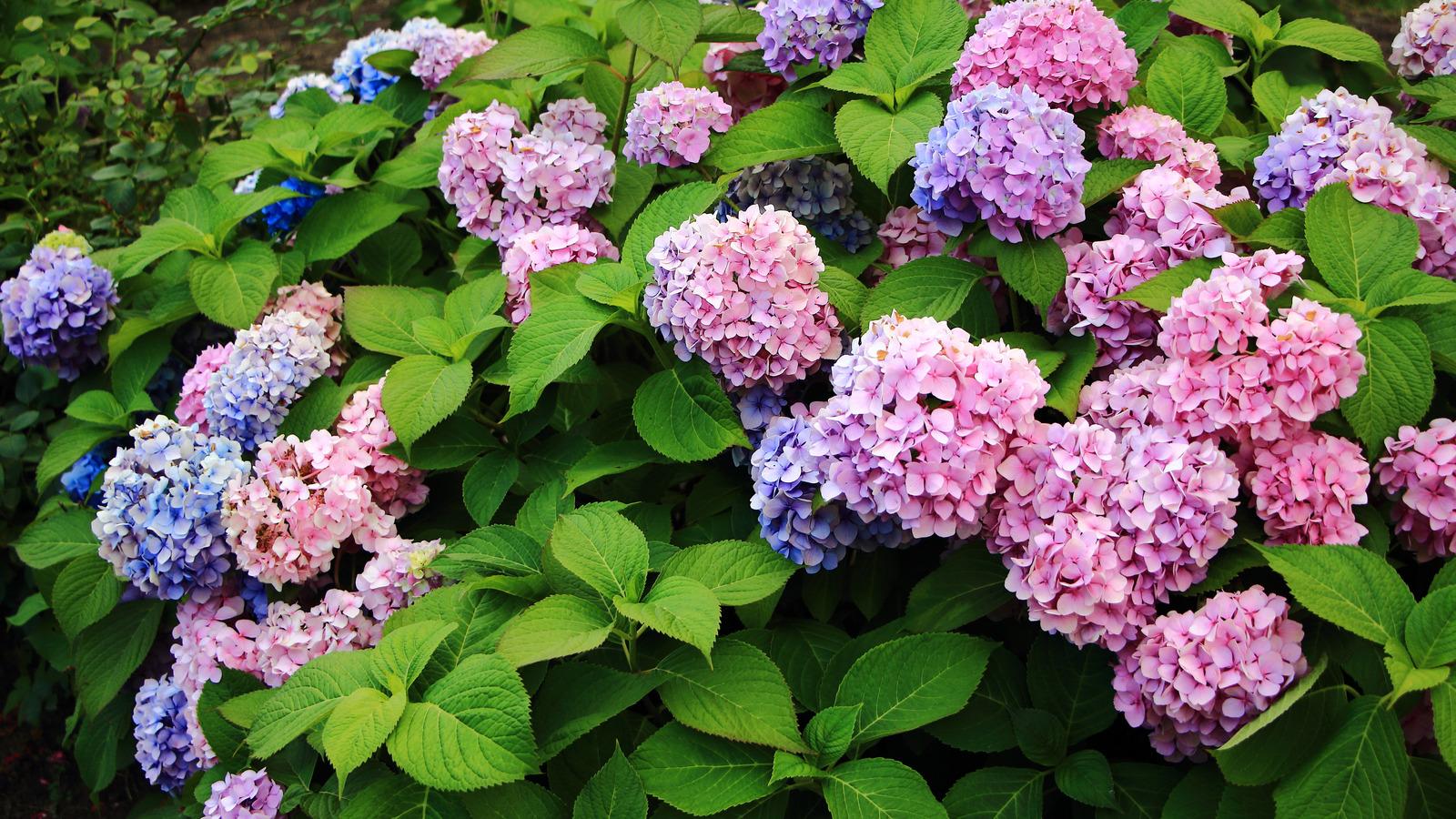Những sai lầm dễ gặp phải khi trồng hoa cẩm tú cầu - Ảnh 1.