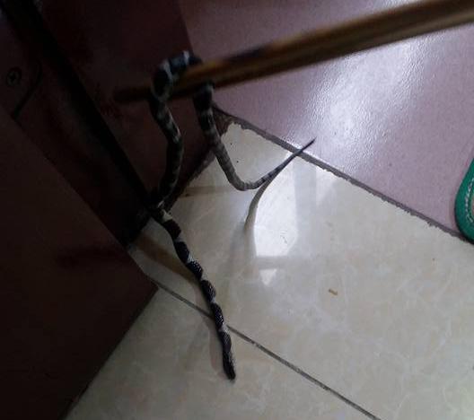 Du khách hoảng hốt khi mở tủ lấy đồ đi bơi phát hiện rắn trong tủ ở nhà nghỉ - Ảnh 1.